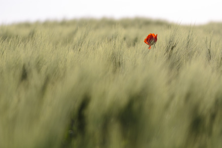 Pavot unique sur un champ de blé, arrière-plan flou