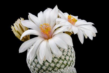 Cactus Mammillaria albiflora with flower isolated on Black