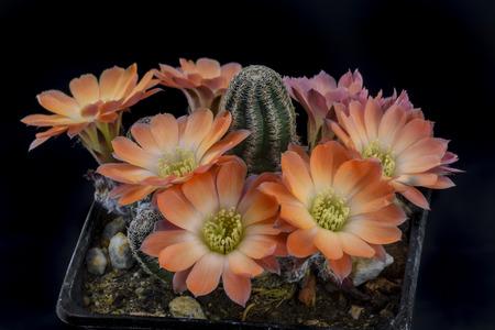 Cactus Mediolobivia torquata with flower isolated on Black Stock Photo