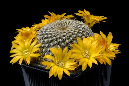 Cactus Sulcorebutia arenacea with flower isolated on Black