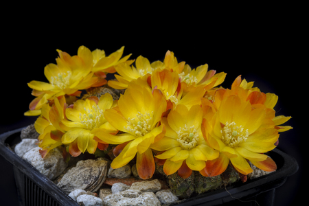 Cactus Sulcorebutia callecallensis with flower isolated on Black