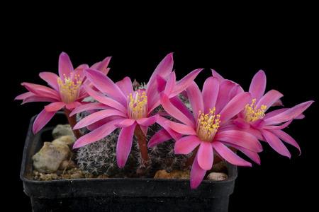 Cactus Aylostera katy with flower isolated on Black Stock Photo