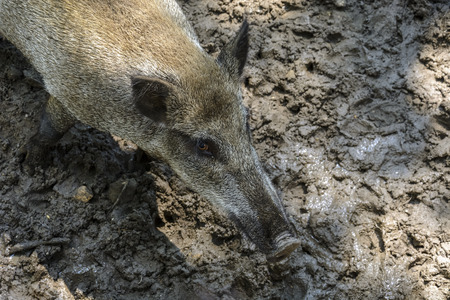 Wild pig ,in a zoo, with mud and still water. aerial view Stock Photo