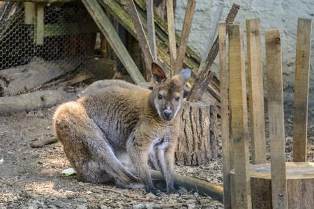 Single kangaroo close up in a zoo, portrait of a kangaroo