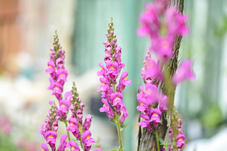 pink flower of Gladiolus against blurry background Stock Photo