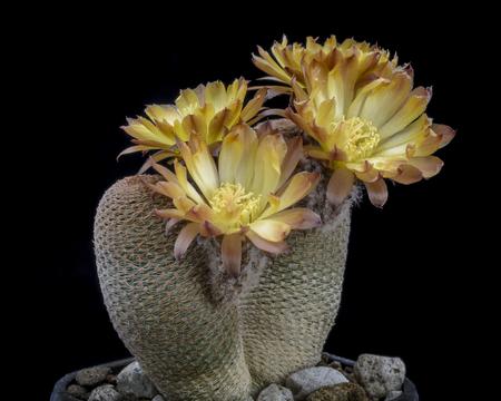 Cactus Lobivia famatimenis bonnieae with flower isolated on Black