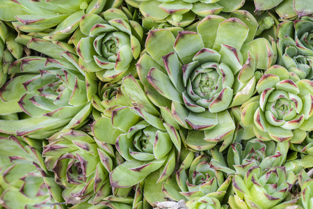 Background of succulent plant , top view of Echeverias cluster Stock Photo