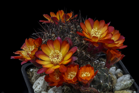 Cactus Sulcorebutia steinbachii with flower isolated on Black
