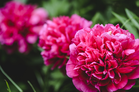 Peonies on bloom with vibrant red color Stock Photo