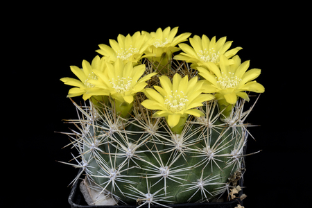 Cactus Weingatia riograndensis with flower isolated on Black Stock Photo