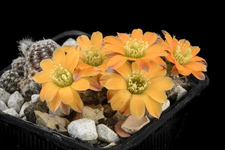 Cactus Rebutia knizei with flower isolated on Black Stock Photo
