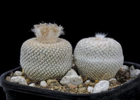 Cactus Epithelantha bokei with flower isolated on Black