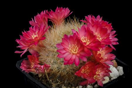 Cactus Sulcorebutia flavissima with flower isolated on Black