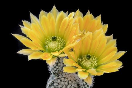 Cactus Echinocereus ctenoides  with flower isolated on Black