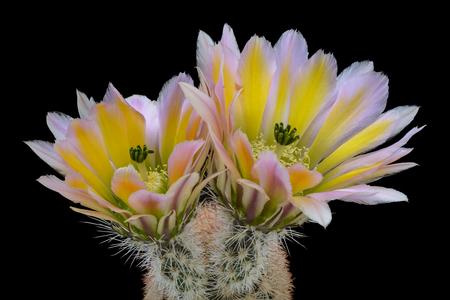 Cactus Echinocereus dasyacanthus with flower isolated on Black