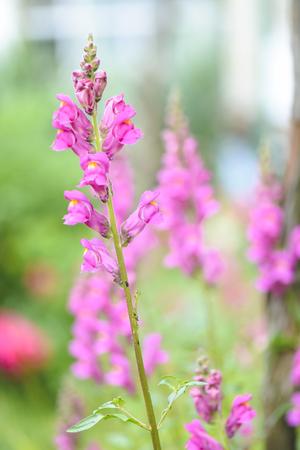 pink flower of Gladiodus against blurry background