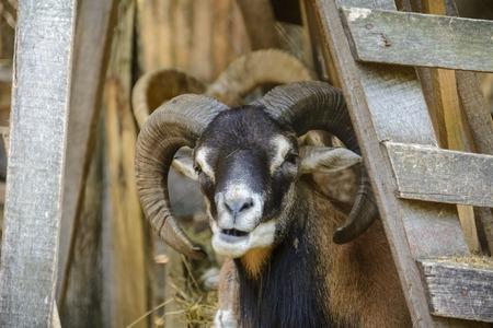Male goat portrait, close up of a goat, head shot