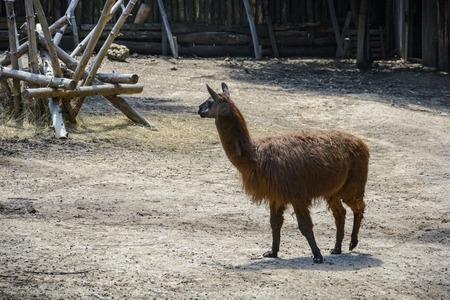 llama on a zoo enclosure, one brown lama alone Stock Photo