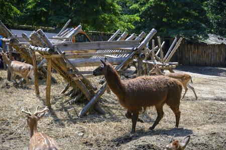 llama on a zoo enclosure, one brown lama alone Stok Fotoğraf