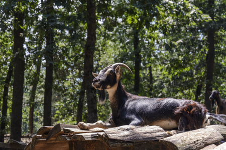 Goat on the top of a pile of Wood