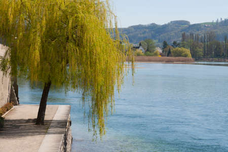 rhein: Willow tree by the river in Stein am Rhein, Switzerland, in a bright sunny day with view of hill in background