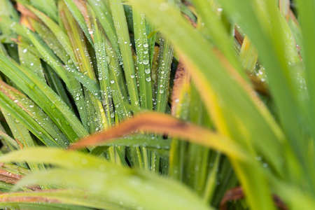 focus on foreground: Selective focos of water droplets on green grass leaves, out of focus foreground and background leaves