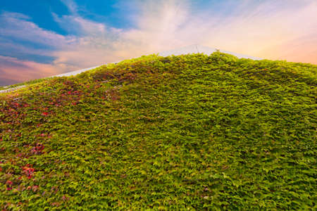 ivy vine: Thick ivy vine covering side and roof of a building with sunset background