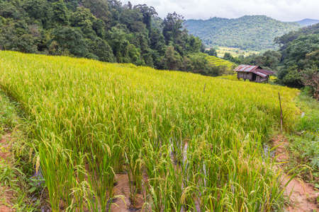 Rice filed with full grown rice on a hill in, Chiang Mai, northern Thailand