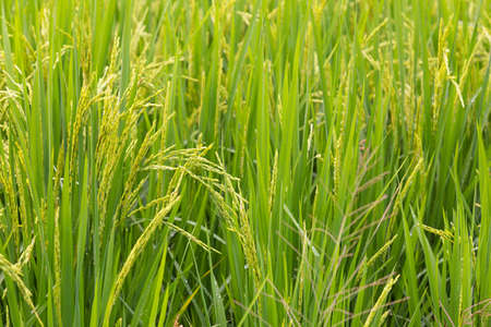 grown up: close up of full grown rice plant with seeds, almost ready to harvest