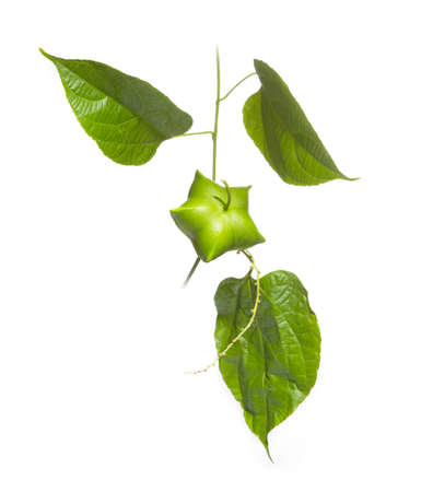 Fresh green Inchi Sacha fruit and leaves hanging on white background