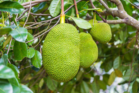 Big jackfruit hanging on its tree, tropical fruit of Thailand and neighbor asian countries