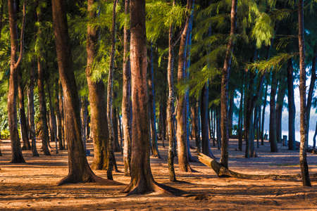 Tall pine trees standing against morning sun light at a beach in Phuket, Thailand, good for travel or evironment theme Stock Photo