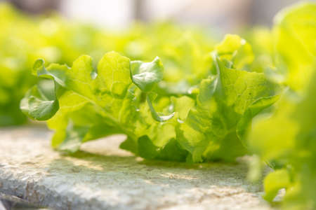 hydroponics vegetables , including several types of lettuce, growing on water Imagens