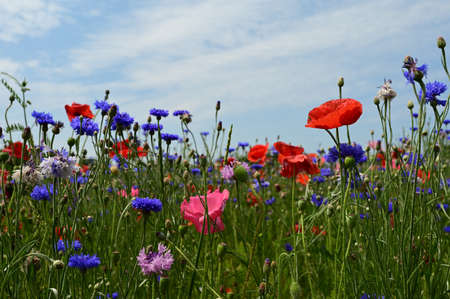 Field of red and pink poppies, blue cornflower