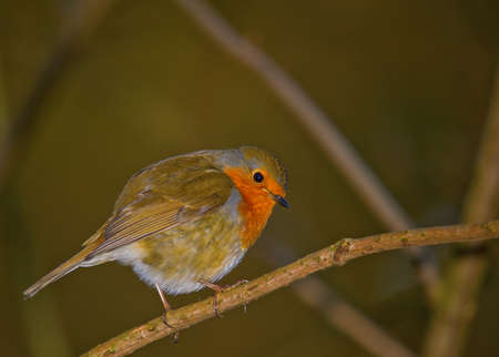 Beautiful Robin perched on a branch photo