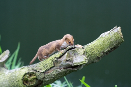 Weasel on a branch eating Stock Photo