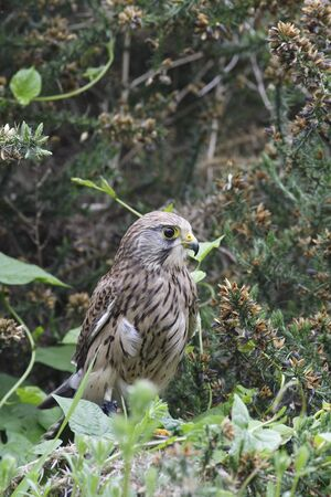 Kestrel perched amongst bushes Stock Photo