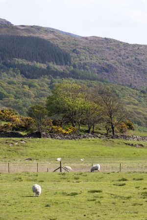 Sheep grazing in a field in North Wales Stock Photo