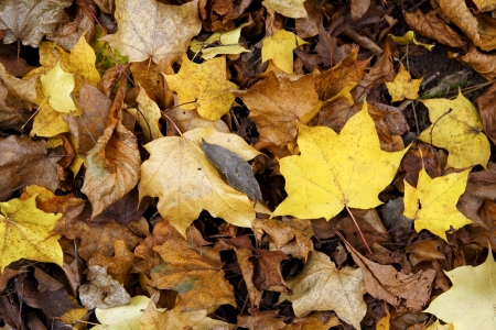 russet: A bed of fallen atumn coloured leaves in various shades of gold and russet