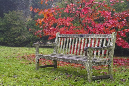 A wooden bench in front of a vibrant red Japanese maple tree in Westonbirt gardens