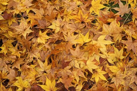 A layer of fallen maple leaves on the ground in gorgous shades of autumnal gold Stock Photo