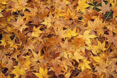 Una capa de arce hojas ca�das en el suelo en tonos gorgous de oro oto�al Foto de archivo