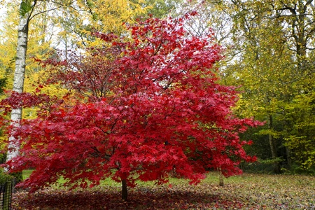 A vibrant red maple tree in Westonbirt arboreutm in autumn Stock Photo