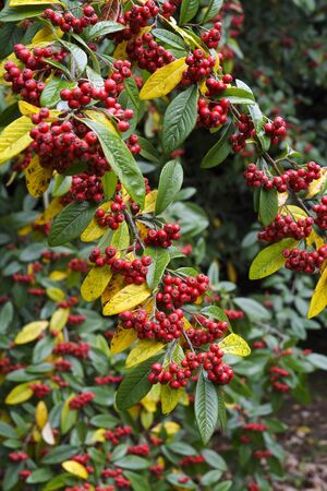 A cotoneaster branch laden with red berries in autumn with some of the leaves turning a golden yellow