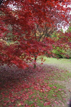 A Japanese maple tree in gorgeous autumnal shades of red and gold Stock Photo