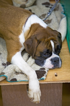 A sleepy Boxer dog lying down waiting for it Stock Photo