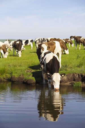 A herd of cows grazing near the waters edge and one drinking from the water