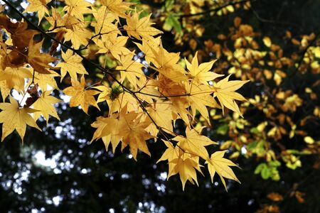 A branch of golden maple leaves in autumn