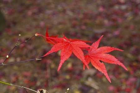 A small branch with four vibrant red maple leaves