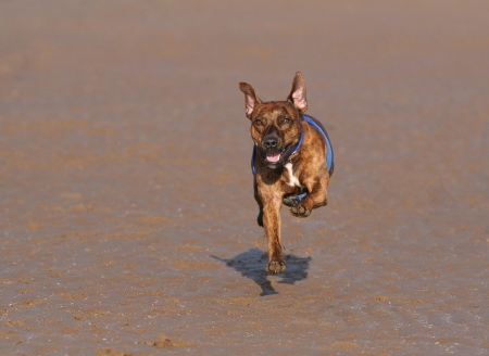 Brown dog running forwards on a beach